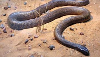 Cuidado: estas são as 12 cobras mais venenosas do mundo!