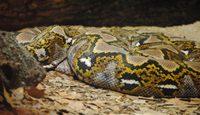 7 curiosidades sobre a maior cobra do mundo