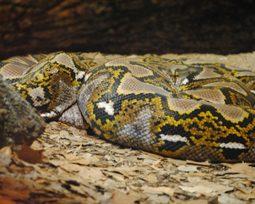 8 curiosidades sobre a fascinante sucuri, a maior cobra do mundo