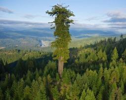 Saiba tudo sobre as maiores árvores do mundo!