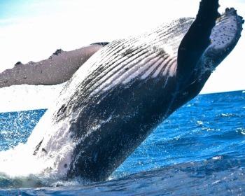 As 12 maiores baleias do mundo: tamanhos, fotos e curiosidades