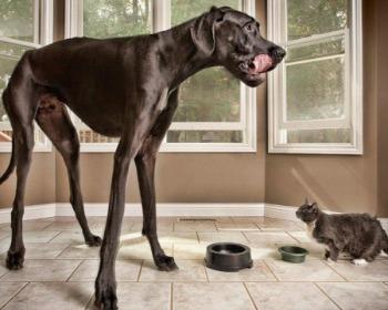 Os maiores cachorros do mundo (e onde eles habitam) segundo o Guinness!