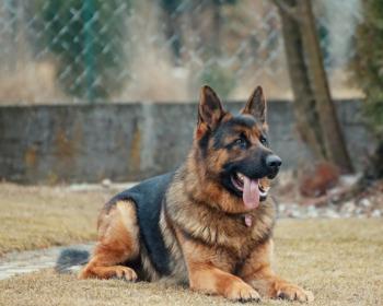 Os 23 melhores cães de guarda segundo a raça, porte e necessidades