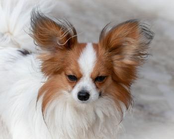 Menores cachorros do mundo: 17 raças de cachorro bem pequenas