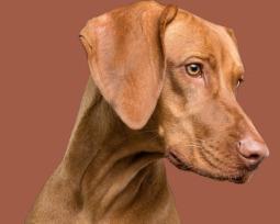 Qual é o cachorro mais caro do mundo e as 25 raças de maior valor?