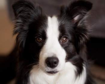 As 20 raças de cachorros mais inteligentes, conforme ranking 🐶