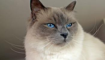 As 17 raças de gato mais populares que você precisa conhecer