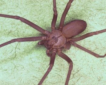 Saiba quais são as aranhas mais venenosas do mundo!