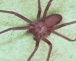 Conheça as 10 aranhas mais venenosas do mundo!