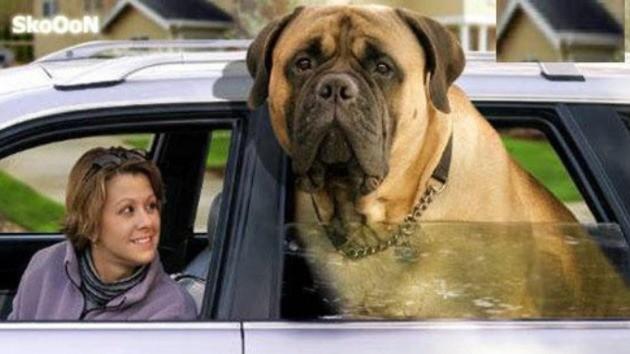 zorba cão mais pesado do mundo